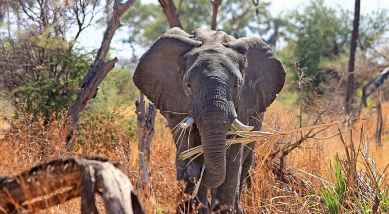 Another main attraction of an African Safari - the elephant
